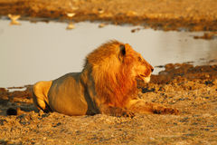Pride of Africa The Regal Lion. Lions have a regal appeal & are a symbol used in our society Royalty Free Stock Photo