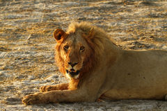 Pride of Africa The Regal Lion. Lions have a regal appeal & are a symbol used in our society Stock Image