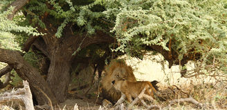Big Daddy Male Lion with junior Stock Image