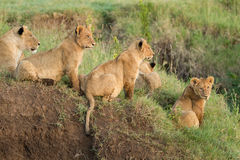Pride of African Lions in the Ngorongoro Crater, Tanzania. Pride of African Lions in the Ngorongoro Crater of Tanzania Royalty Free Stock Photography