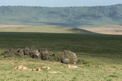Pride of African Lions resting in the Ngorongoro Crater in Tanzania. Large Pride of African Lions resting in the Ngorongoro Crater in Tanzania Stock Images