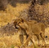 Big pride of lions content in company, coming in to drink. A pride of African lions walking across the wilderness to the waterhole to drink in this hot weather stock photography