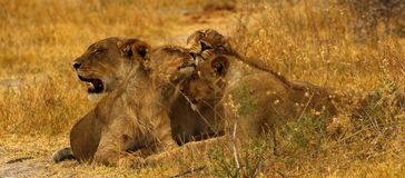 Big pride of lions content in company, coming in to drink. A pride of African lions walking across the wilderness to the waterhole to drink in this hot weather stock image