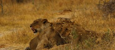 Big pride of lions content in company, coming in to drink. A pride of African lions walking across the wilderness to the waterhole to drink in this hot weather royalty free stock image
