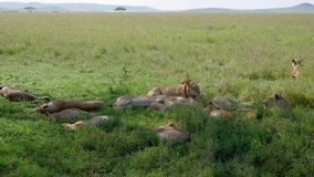 Pride of African wild lions lying and resting in shade of bushes to escape heat. A pride of African lions lying and resting in the shade of the bushes, fleeing stock footage