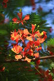 Pride of Barbados. The Pride of Barbados is the flower that will bloom on summer Stock Images