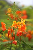 Pride of Barbados. A close up view of a pride of Barbados flower that has yellow and orange color Stock Photo