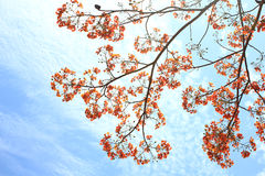 Pride of Barbados on clound  background. The Pride of Barbados on clound  background Stock Images