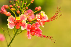 Pride of Barbados flower Stock Photos