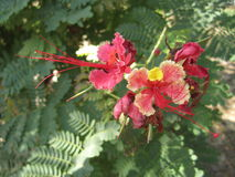 Pride of Barbados flower Stock Photos