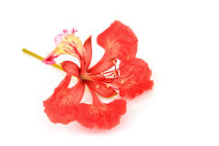 Pride of Barbados flower Royalty Free Stock Photos