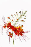 Pride of barbados flower. Isolated on white background Stock Photo