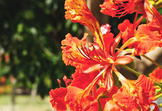 Pride of Barbados Stock Photography