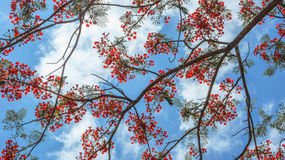 Pride of Barbados. Or Peacock's Crest with the white clouds and sky Royalty Free Stock Photo