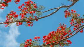 Pride of Barbados Royalty Free Stock Photography
