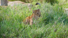 In Pride Cute Little Lion Stands On His Feet And Looks Around Wild Savannah. Cute and funny little lion wakes up and looks around, surrounded by pride lionesses stock video