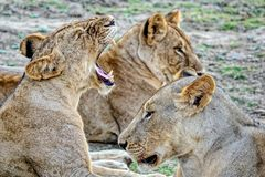 Pride-family pack of lions. Pride of lions on rest. The African lion Panthera leo. Male lions have a large mane of thick hair. Up to 40 cm. Closeup royalty free stock photography