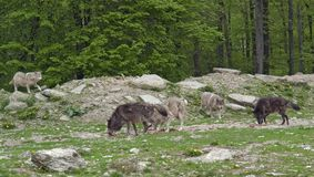 Pride of Gray Wolves. Some Gray Wolves in natural forest ambiance Royalty Free Stock Images
