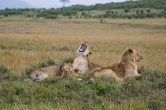 Male Pride. A pride of juvenile male lions take the afternoon to rest up stock images