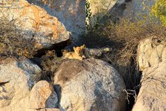 Late afternoon high in the rocks are pride of lion cubs await the return of their parents with food royalty free stock image