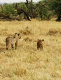 Pride of Lion cubs Stock Image