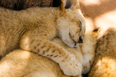 Pride of lion cubs sleeping. A pride of lion cubs cuddling up to each other during nap time Stock Photo