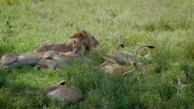 In Pride Lioness Looking For Place To Sleep Under Shade Of Bush In Savannah. Lioness in a pride of lions looking for a place and lays down on the grass under a stock video