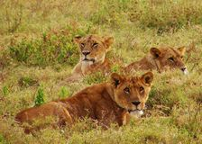 Pride of Lionesses Resting in the Grasses in the African Plains Stock Photo