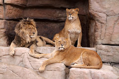 Pride of lions. The male lion and two lionesses resting on the rocks Stock Images
