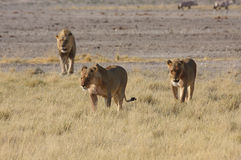Pride of Lions. A pride of lions in the early morning sunlight towards a quite place royalty free stock image