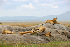 Pride of lions. Four adult lionesses and lion cub to rest upon rocks Royalty Free Stock Images