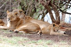 Pride of lions. Image of a pride of lions resting under a tree in the african savannah Royalty Free Stock Photos