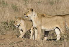 Pride of lions. Masai Mara, Republic of Kenya, Eastern Africa royalty free stock photography