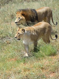 Pride of lions, Africa Royalty Free Stock Images