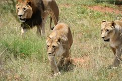 Pride of lions, Africa. Pride of lions on the hunt. Lion and two lioness in the African bush, Namibia royalty free stock photography