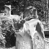 Pride of lions. In black and white stock image