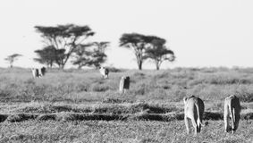 Pride of lions. Black and white image of a pride of lions walking across the African plains Royalty Free Stock Photos