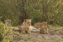 A pride of lions with cubs. A lion pride with cubs on the grasslands of the Maasai Mara stock photography