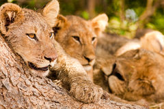 Pride of lions with cute lion cub. Pride of lions resting under a shady tree Royalty Free Stock Photos