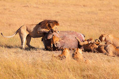 Pride of lions eating a pray in Masai Mara Royalty Free Stock Images