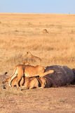 Pride of lions eating a pray in Masai Mara Stock Image