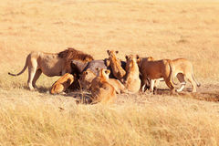 Pride of lions eating a pray in Masai Mara Royalty Free Stock Photos