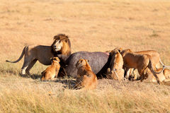 Pride of lions eating a pray in Masai Mara Stock Photography