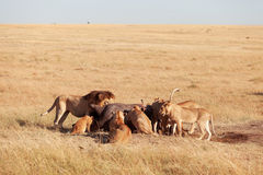 Pride of lions eating a pray in Masai Mara. Kenya stock photo