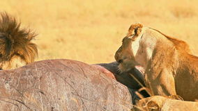 Pride of lions eating a pray in Masai Mara stock video