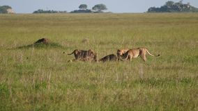 Pride of lions eating caught prey in the African savanna wildlife of reservation. Pride lions eats caught and killed prey in the African savannah. Wildlife in stock video