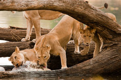Pride of Lions on Hippo Kill. Female Lions feeding from Hippo Kill on the banks of the Ruaha River, Tanzania Royalty Free Stock Photos