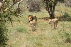 Pride of lions, Africa. Pride of lions on the hunt. Lion and two lioness in the African bush, Namibia. Africa royalty free stock image