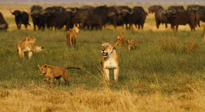 Pride of Lions hunting Buffalo Royalty Free Stock Photos