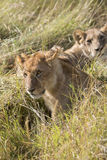 Pride of lions Royalty Free Stock Images